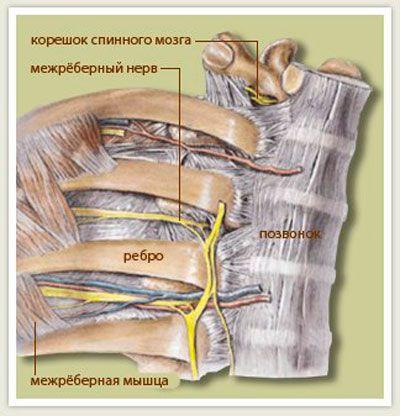 Схема межрёберных неровов и корешка спинного мозга