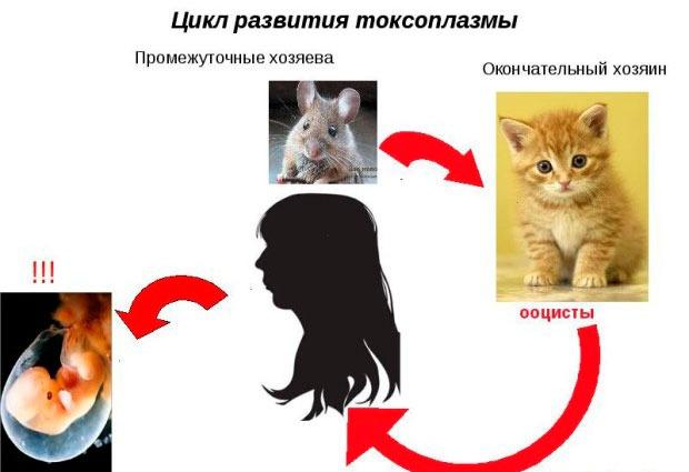 Токсоплазмоз: цикл развития